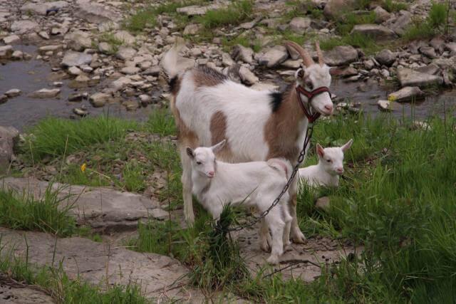 koza karmiąca młode