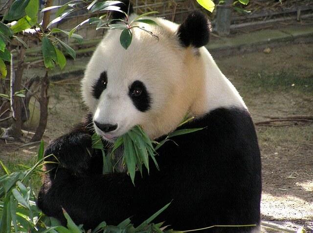 panda_je_pędy_bambusowe